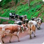 Picto photo vaches 1